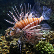 Stock Photo: Lionfish