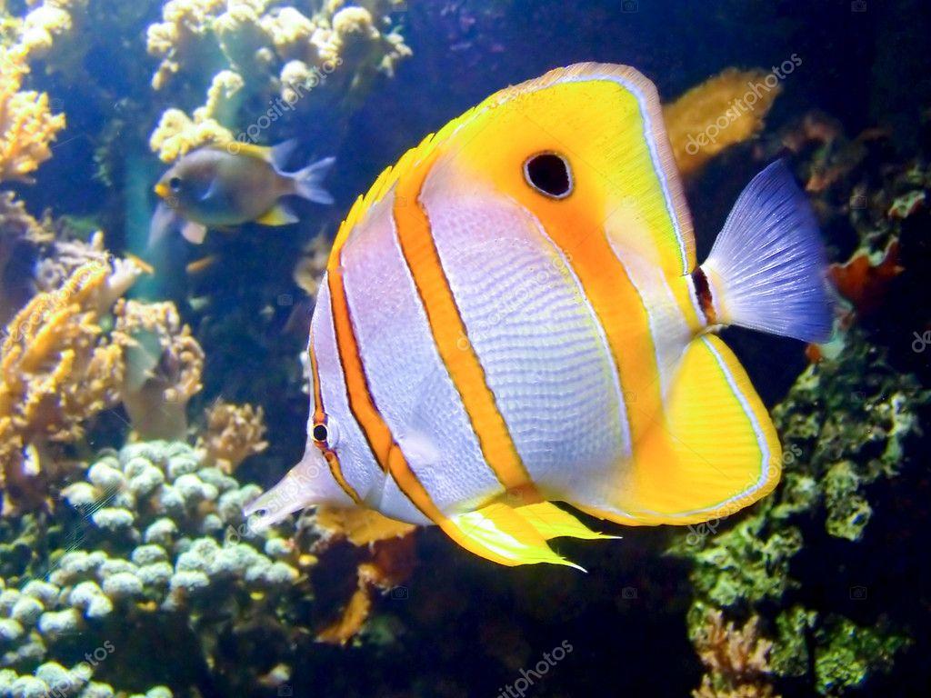 Clown fish stock photo baloncici 3751344 for Clown fish price