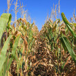 Stock Photo: Corn crops