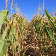 Corn crops — Stock Photo