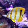 Stock Photo: Copperband Butterflyfish