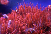 Orange clown fish — Stock Photo