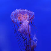 Purple striped jellyfish — Stock Photo