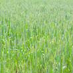 Green wheat — Stock Photo #43096829