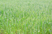 Green wheat — Foto de Stock