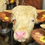 Cow head — Stock Photo #43430963