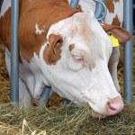 Cow farm — Stock Photo #45288257