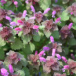 Red dead nettle (Lamium purpureum) — Stock Photo