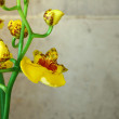 Oncidium Orchid - Stock Photo