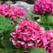 Stock Photo: Pink HydrangeFlowers