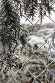 Cedar branch — Stock Photo