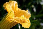 Pumpkin flower — Stock fotografie