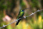Hummingbird sitting on the barbed wire — Stock Photo