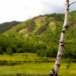 Stock Photo: Birch tree. Siberilandscape