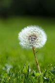 Dandelion on grassy background — Stock Photo