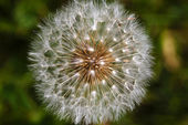 Dandelion head closeup — Stock Photo