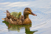Baby duck — Stock Photo