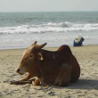 Cow on the beach — Stock Video