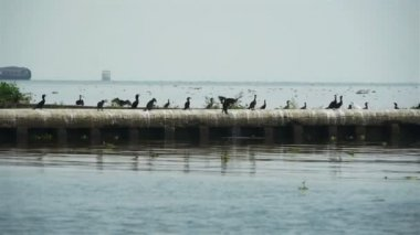Geese at lake — Stock Video