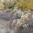 Rabbitbrush and cottonwood — Stock Photo #13951945
