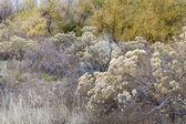 Rabbitbrush and cottonwood — Stock Photo