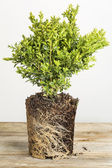 Boxwood plant — Stock Photo