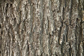Oak tree bark texture — Stock Photo