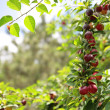 Ripening plums — Stock Photo