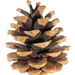Pine cone — Stock Photo #18454293