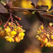 Barberry — Stock Photo #18454381