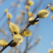 Pussy-willow — Stock Photo #18456621