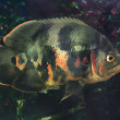 Astronotus ocellatus — Stock Photo