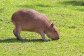 Capybara (Hydrochoerus hydrochaeris) — Foto Stock