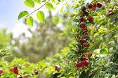 Ripening plums — Stock Photo