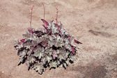 Heuchera — Stock Photo