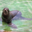 Stock Photo: Northern fur seal