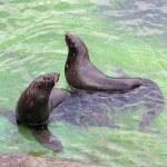 北方毛皮海豹 — 图库照片