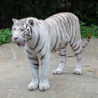 White Bengal tiger (Panthera tigris tigris) - Stock Photo