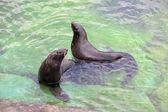 Northern fur seal — Stock Photo