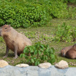 Capybara — Stock Photo #22166789