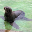 Northern fur seal (Callorhinus ursinus) in the water in shallow — 图库照片