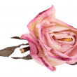 Bud dried pink roses, isolated on white background — Stock Photo