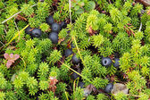 Crowberry — Stock Photo