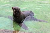 Northern fur seal (Callorhinus ursinus) in the water in shallow — Stock Photo