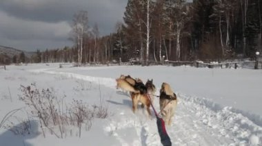 A team of Siberian sled dogs pulling a sled through the winter forest — Stock Video