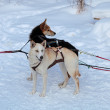 Harnessed in a cart sled dogs. Siberian Laika — Stock Photo