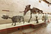 Brachypotherium and mastodon Gomphotherium atavus (Borissiak) — Stock Photo