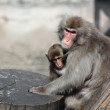 Japanese Macaque (Macaca fuscata), also known as the Snow Monkey — Stock Photo