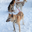 Harnessed in a cart sled dogs. Siberian Laika — Stock Photo #24330173