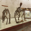 Dinosaur skeletons — Stock Photo #24330387